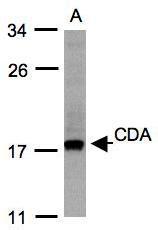 NBP1-31412 - Cytidine deaminase