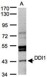 NBP1-31417 - DDI1