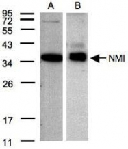 NBP1-31424 - NMI