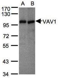 NBP1-31426 - VAV1