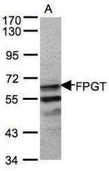 NBP1-31436 - FPGT