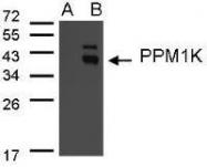 NBP1-31444 - Protein phosphatase 1K / PPM1K