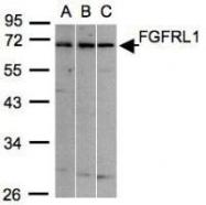 NBP1-31461 - FGFRL1