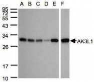 NBP1-31462 - Adenylate kinase 4 (AK4)