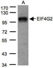 NBP1-31469 - eIF4G2 / DAP5