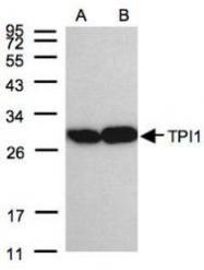 NBP1-31470 - Triosephosphate isomerase (TPI1)