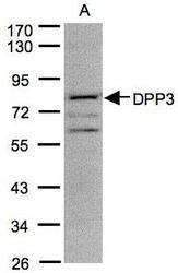 NBP1-31476 - DPP3