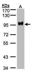 NBP1-31488 - CD44