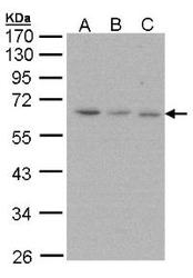 NBP1-31530 - PSMD3