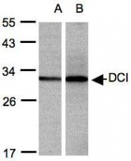 NBP1-31549 - DCI