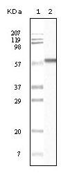 NB110-89450 - Cytokeratin 1