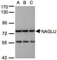 NBP1-31555 - NAGLU