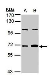 NBP1-31560 - GTP-binding protein 1 / GBP1