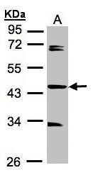 NBP1-31567 - SDCCAG3