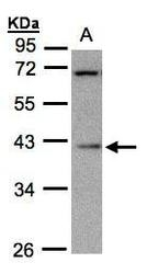 NBP1-31568 - MRPS22