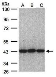 NBP1-31572 - EIF3H / EIF3S3