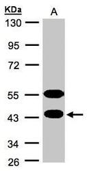 NBP1-31573 - CLPH / C4orf35