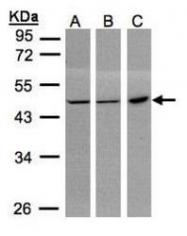 NBP1-31589 - PGD / PGDH