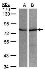 NBP1-31596 - Grp75 / HSPA9