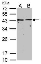 NBP1-31601 - G protein alpha inhibitor 1