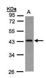 NBP1-31604 - G protein z alpha