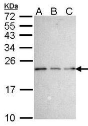 NBP1-31652 - NADE / BEX3