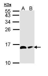 NBP1-31682 - NDUFAB1