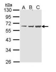 NBP1-31712 - NAB1
