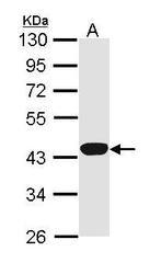 NBP1-31713 - Hemopexin / HPX