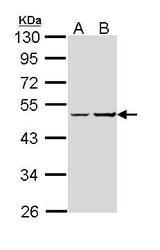 NBP1-31730 - Protein ALEX