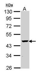 NBP1-31735 - PON1