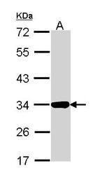 NBP1-31751 - Annexin A4 / ANXA4