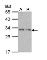 NBP1-31768 - PDYN