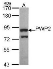 NBP1-31966 - PWP2