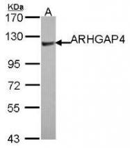 NBP1-31976 - ARHGAP4