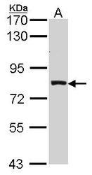 NBP1-32000 - Prolactin receptor