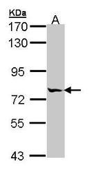 NBP1-32008 - MIPEP
