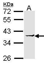 NBP1-32013 - EEF1D