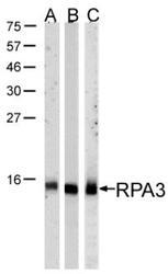 NBP1-32023 - RPA3 / RPA14