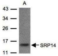 NBP1-32034 - SRP14