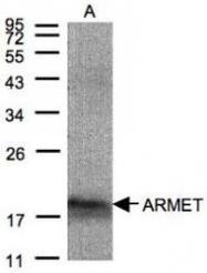 NBP1-32037 - ARMET / ARP