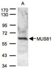 NBP1-32054 - MUS81