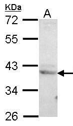NBP1-32065 - CREB3