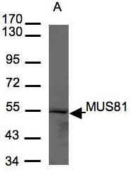 NBP1-32073 - MUS81