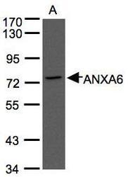NBP1-32091 - Annexin A6 / ANXA6