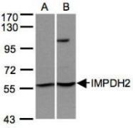 NBP1-32093 - IMPDH2
