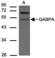 NBP1-32105 - GABPA