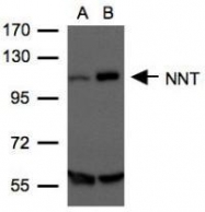 NBP1-32109 - NNT