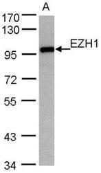 NBP1-32111 - EZH1