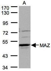 NBP1-32119 - MAZ